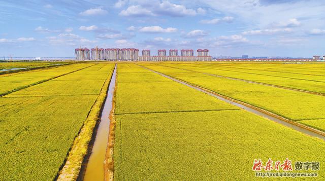 位于兴隆社区仙鹤村的1000亩水稻即将成熟,稻杆青翠,稻穗却泛着金黄